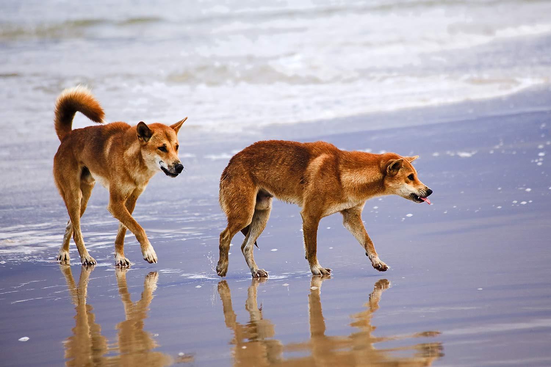 Fraser Island Tour Dingos
